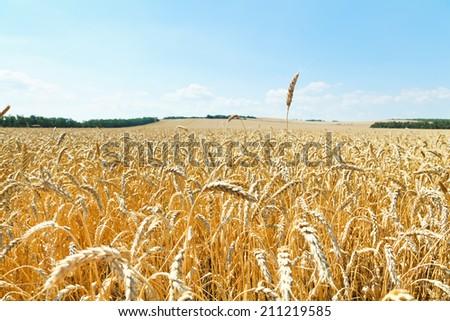 ear over ripe wheat field in caucasus region in summer day - stock photo