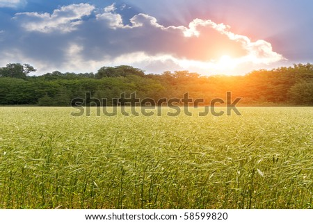 Ear  wheat  field   sunset
