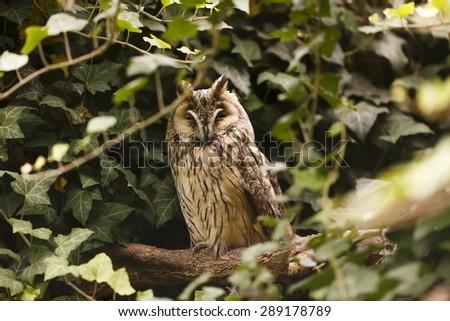 eared owl is sleeping on the tree - stock photo