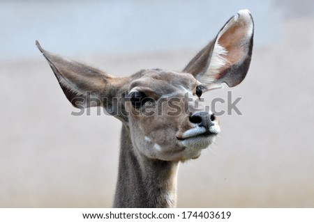 Eared ungulate