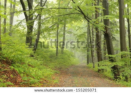 Early autumn beech forest in the fog. - stock photo