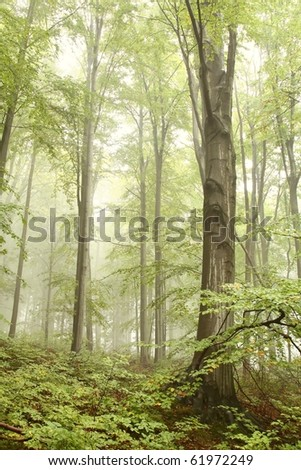 Early autumn beech forest on the slope on a foggy rainy day. - stock photo