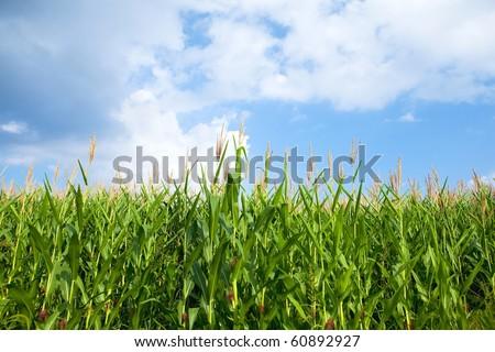 Early autumn cornfield. - stock photo