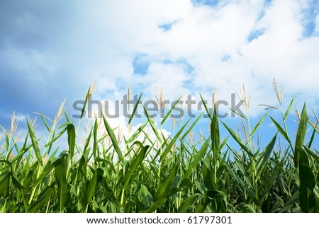 Early autumn cornfield. - stock photo