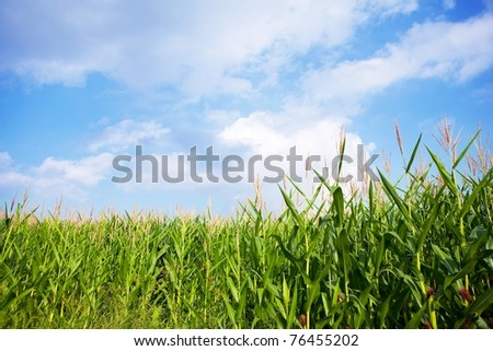 Early autumn cornfield under a blue sky.