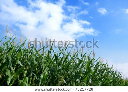 Early autumn cornfield with blue sky in back ground. - stock photo