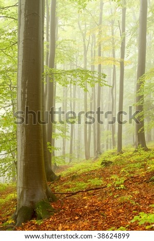 Early autumn forest after rainfall with beech trees surrounded by mountain mist. - stock photo
