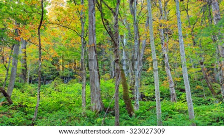 Early autumn forest, Oirase Stream (Oirase Keiryu) in Aomori Prefecture, Tohoku region, Japan. The most famous and popular autumn colors destinations in Japan. - stock photo