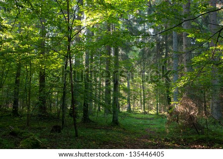 Early autumn morning in Bialowieza Forest and path crossing mixed stand - stock photo