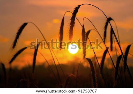 Early in the morning. A field of ripe rye against the rising sun. - stock photo