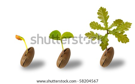 Early life of an oak tree isolated on white - stock photo