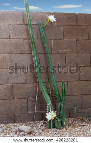 Early morning Bloom Time for Arizona Most Popular Garden Cactus without Thorns - stock photo
