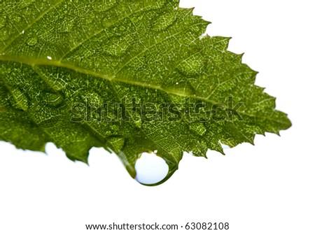 Early morning dew on hornbeam leaf isolated over white - stock photo