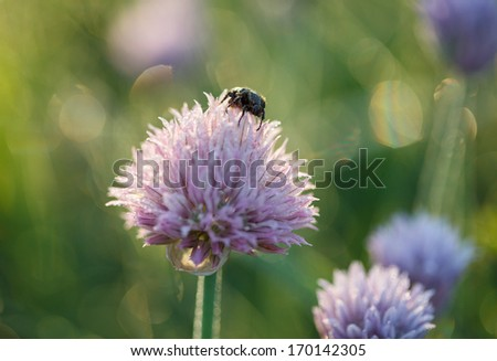 Early morning dew on may-bug (Melolontha) on blooming leek  - stock photo