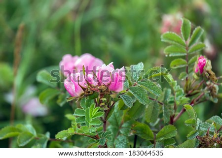 Early morning dew on wild rose flowers and leaves