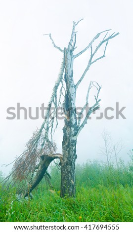 early morning fog . big birch broken by a violent storm and thunderstorms . bright green grass and smells fresh  - stock photo