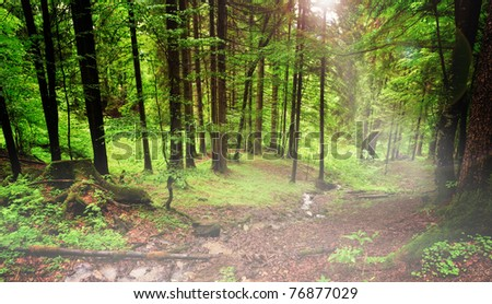 Early morning forest scene - stock photo