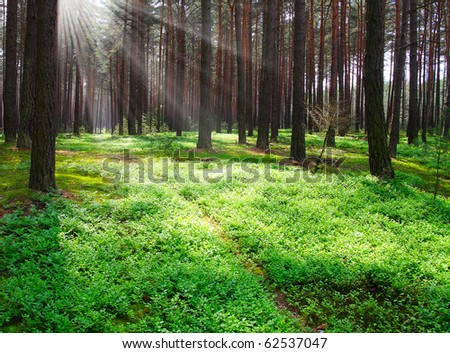Early morning in a pine forest - stock photo