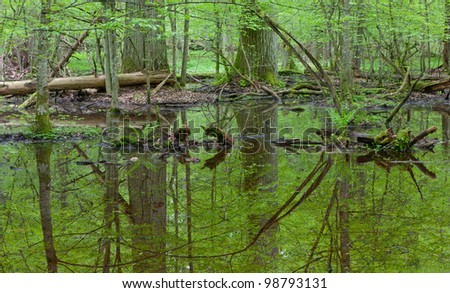 Early morning in forest with two large oak by standing water and dead wood around - stock photo