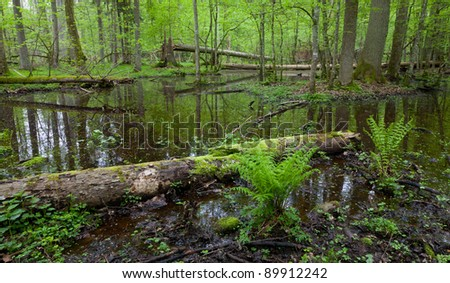 Early morning in the forest with dead spruces lying in water and bunch of ferns in foreground - stock photo