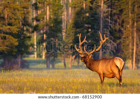 Early morning light shining on a bull elk with velvet covered antlers, Yellowstone National Park. - stock photo