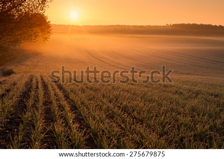 Early morning over fields in Mecklenburg Germany, with mist over the ground and dew drops on the grain  - stock photo