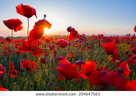 early morning red poppy field scene - stock photo