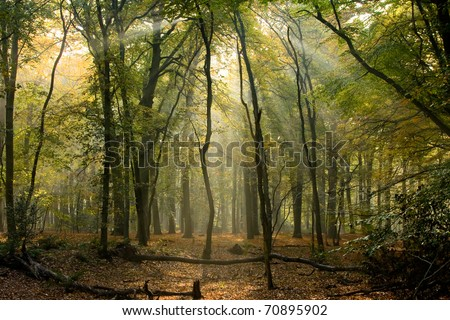 early morning sun in the woods withs sunbeams between the trees - stock photo
