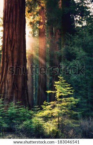Early morning sunlight in the Sequoias of Mariposa Grove, Yosemite National Park, California, USA. Rays of sun highlight a young tree. - stock photo