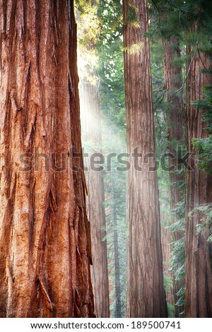 Early morning sunlight in the Sequoias of Mariposa Grove, Yosemite National Park, California, USA - stock photo