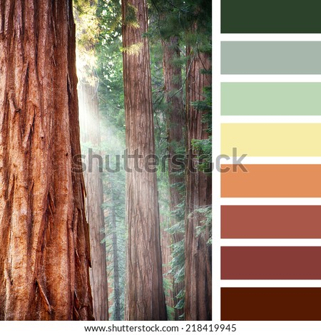Early morning sunlight in the Sequoias of Mariposa Grove, Yosemite National Park, California, USA, in a colour palette with complimentary colour swatches - stock photo