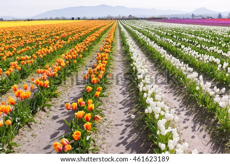 Early morning with beautiful tulip colors that set the lines in an open field.