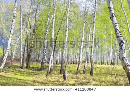 early spring birch forest, young foliage