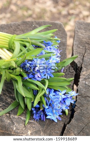 early spring Blue Scilla (Squill) over wooden background/Lovely tender spring flowers - stock photo