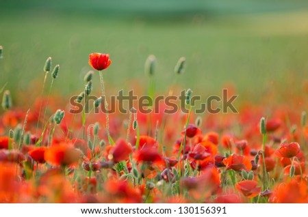 early spring field poppy flowers backlit with the sun against blurred background selective focus - stock photo