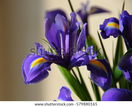 Early spring irises.
