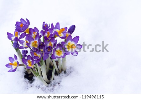 Early spring purple Crocus in snow - stock photo