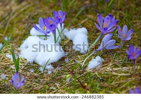 Early spring purple crocuses in snow - stock photo