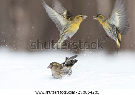 Early spring scene with one Siskin lady and two Siskin knights (Carduelis spinus) in March. Moscow region, Russia.  - stock photo