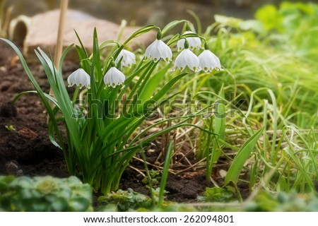 early spring snowflake flowers in march, leucojum vernum, group in a spring bedding - stock photo