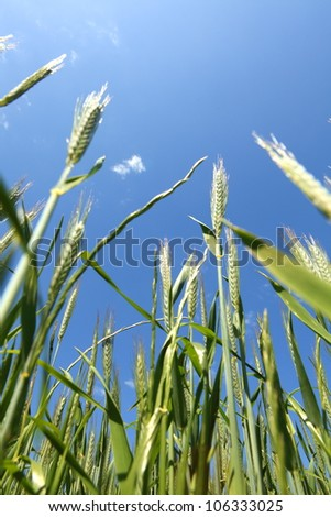 Early spring wheat field - stock photo