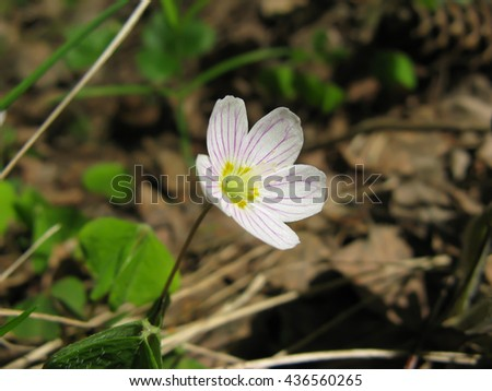Early spring, woods, delicate white flower oxalis (common wood sorrel) closeup. - stock photo