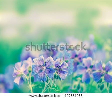 early summer flowering geranium by the name of gravetye - stock photo