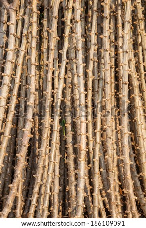 Early varieties of cassava cuttings for planting - stock photo