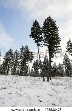 Early Winter in Canada. Snow covered ground with some grass poking through, pine trees still without snow on them. Wispy cloudy sky. - stock photo