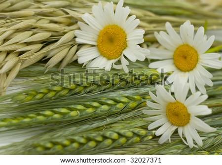 Ears - a rye, wheat, oats, camomile - stock photo