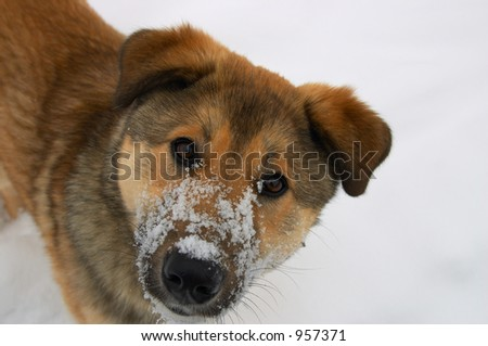 Ears, eyes, nose and snow - stock photo