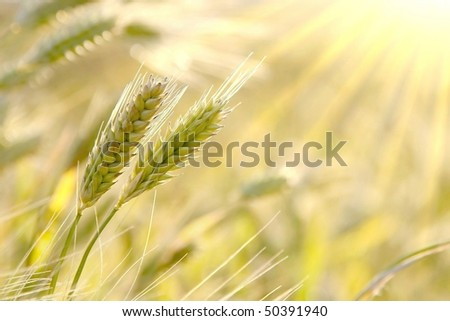 Ears in the field backlit by the setting sun. Photo taken in May. - stock photo