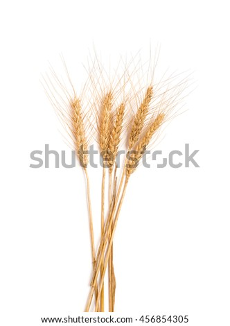 ears of barley isolated on white background