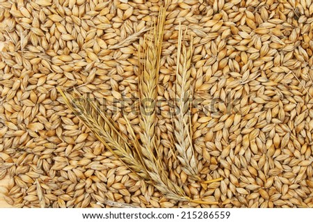 Ears of barley on a background of barley grains - stock photo